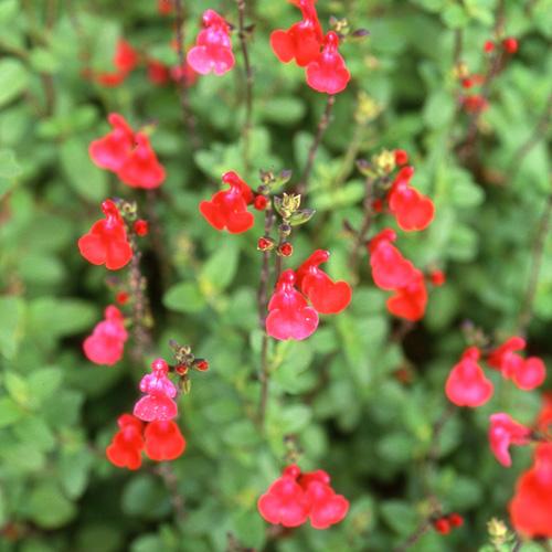 Salvia_microphylla
