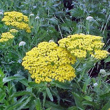 Catalogue vivaces pour massifs et fleurs couper greenastic for Catalogue plantes vivaces