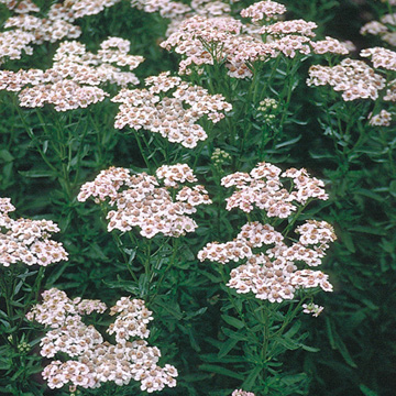Catalogue plantes vivaces greenastic for Catalogue plantes vivaces